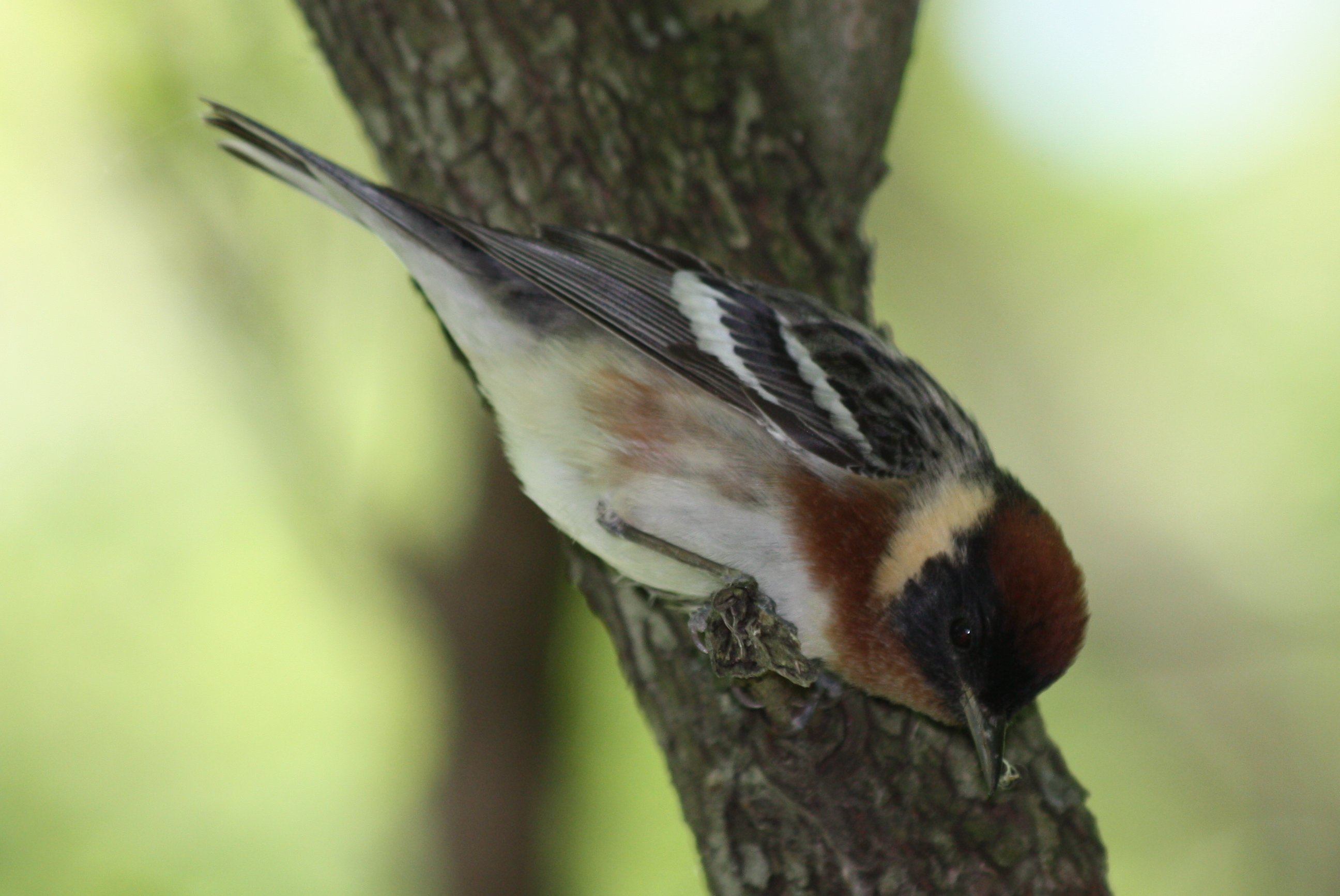Bay-breasted Warbler 9