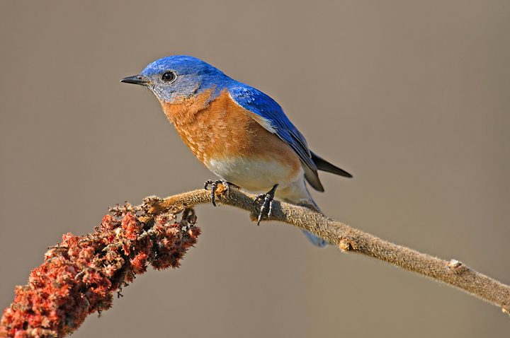 eastern-bluebird-male-12-4-_0266