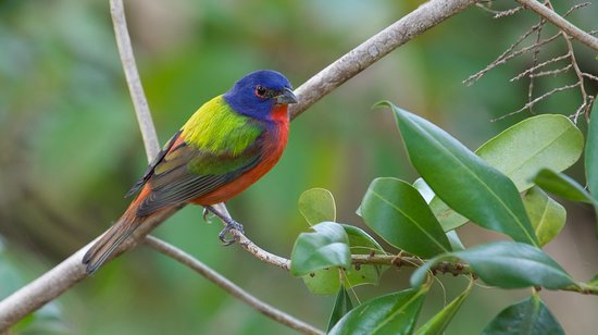 male-painted-bunting
