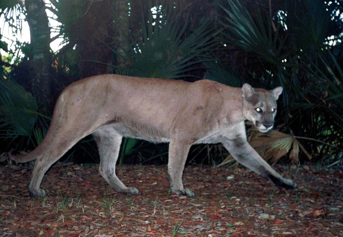 panther_remote_camera