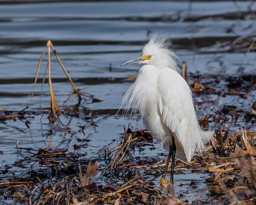 snowy-egret-in-breeding-plumage-morris-finkelstein